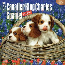 Calendrier 2016 Cavalier king charles chiot