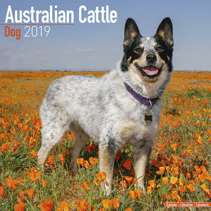 Calendrier 2019 Australian cattle dog