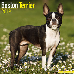 Calendrier 2019 Boston terrier