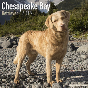 Calendrier 2019 Chesapeake Bay retriever