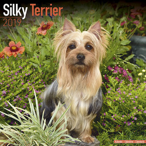 Calendrier 2019 Silky terrier