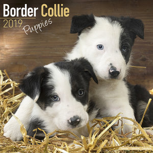 Calendrier 2019 Border collie chiot