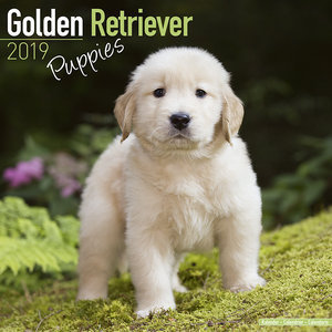 Calendrier 2019 Golden retriever chiot