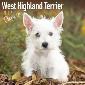 Calendrier 2019 West highland terrier chiot