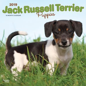 Calendrier 2019 Jack Russell chiot