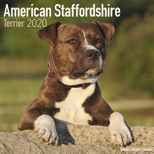 Calendrier 2020 American staffordshire terrier