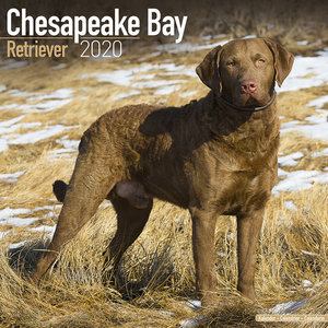 Calendrier 2020 Chesapeake Bay retriever