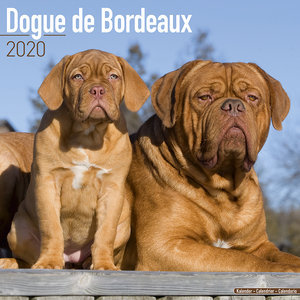 Calendrier 2020 Dogue de bordeaux