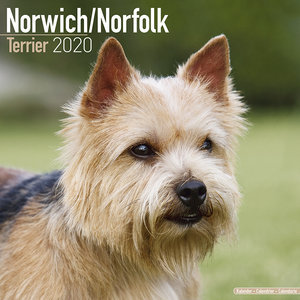 Calendrier 2020 Norwich Norfolk terrier