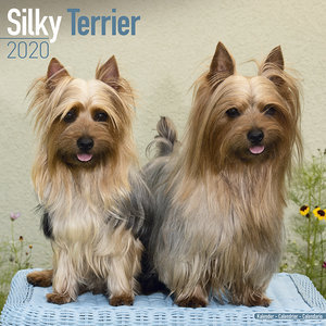 Calendrier 2020 Silky terrier