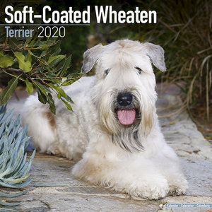 Calendrier 2020 Softcoated wheaten terrier