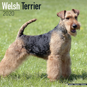 Calendrier 2020 Welsh terrier