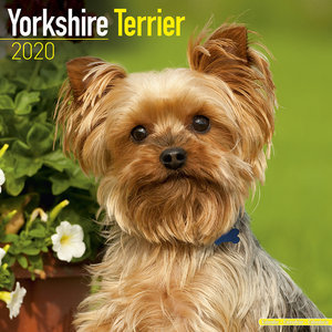 Calendrier 2020 Yorkshire terrier
