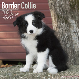 Calendrier 2020 Border collie chiot