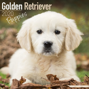 Calendrier 2020 Golden retriever chiot
