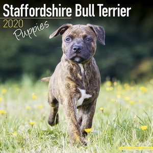 Calendrier 2020 Staffordshire bull terrier chiot
