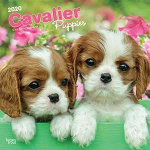 Calendrier 2020 Cavalier king charles chiot
