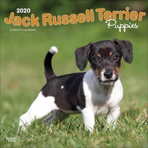 Calendrier 2020 Jack Russell chiot