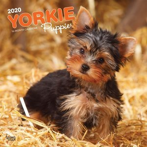 Calendrier 2020 Yorkshire terrier chiot