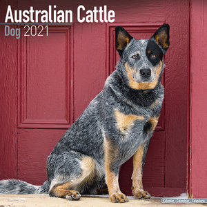 Calendrier 2021 Australian cattle dog