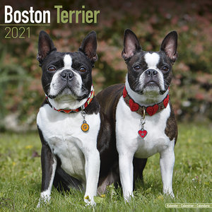 Calendrier 2021 Boston terrier