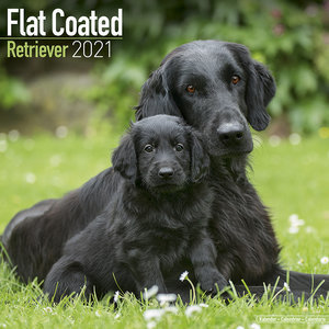 Calendrier 2021 Flat coated retriever
