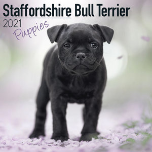 Calendrier 2021 Staffordshire bull terrier chiot