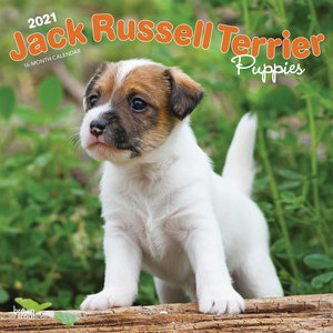 Calendrier 2021 Jack Russell chiot