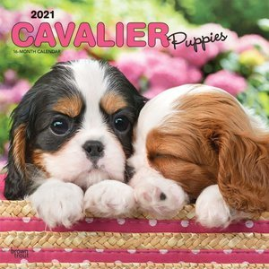 Calendrier 2021 Cavalier king charles chiot