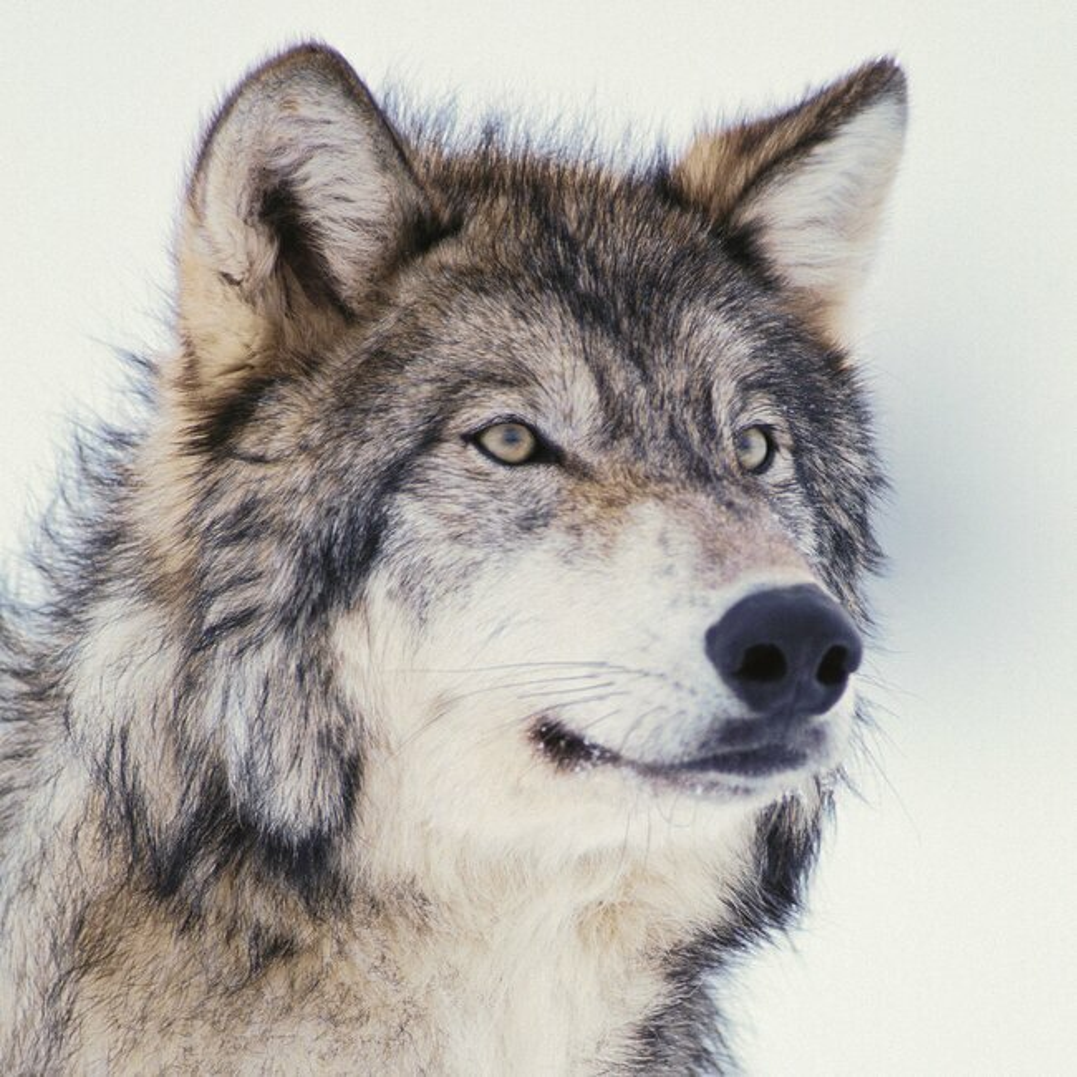 Calendrier Loup 2022 Calendrier 2022 Loup